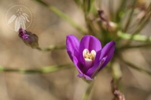 <i>Brodiaea californica</i>