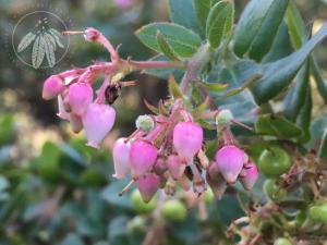<i>Arctostaphylos pajaroensis</i>