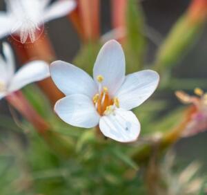 <i>Acanthogilia gloriosa</i>