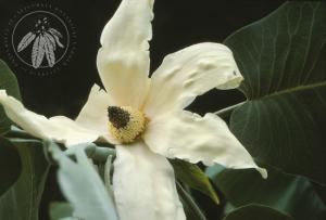 Magnolia macrophylla ssp. dealbata