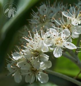 <i>Sorbus aria</i>