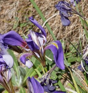 <i>Iris unguicularis</i>