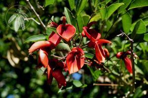 <i>Erythrina crista-galli</i>