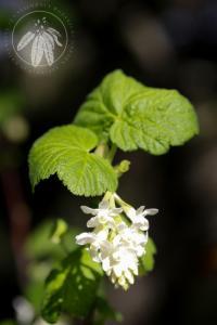 <i>Ribes sanguineum</i> Pursh var. <i>glutinosum</i>