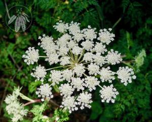 Selinum cryptotaenium