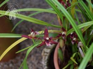 <i>Maxillaria tenuifolia</i>