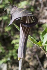 <i>Arisaema-serratum</i> var. <i>mayebarae</i>