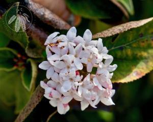 <i>Viburnum carlesii</i>