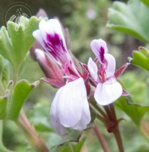 <i>Pelargonium exstipulatum</i>