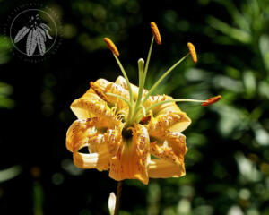 Lilium henryi