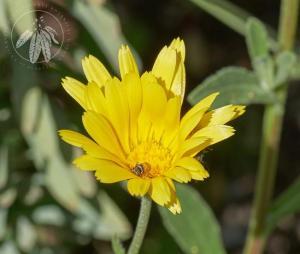 <i>Calendula suffruticosa</i>