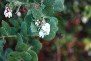 Arctostaphylos purissima