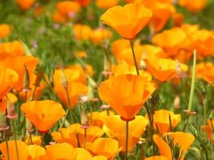 Eschscholzia californica | California poppy