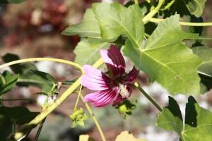 Lavatera assurgentflora | Island Mallow