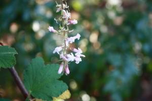Ribes malvaceum var malvaceum cv Dancing Tassels