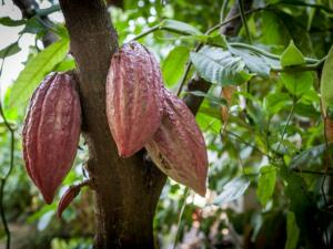 Cacao fruit on tree.